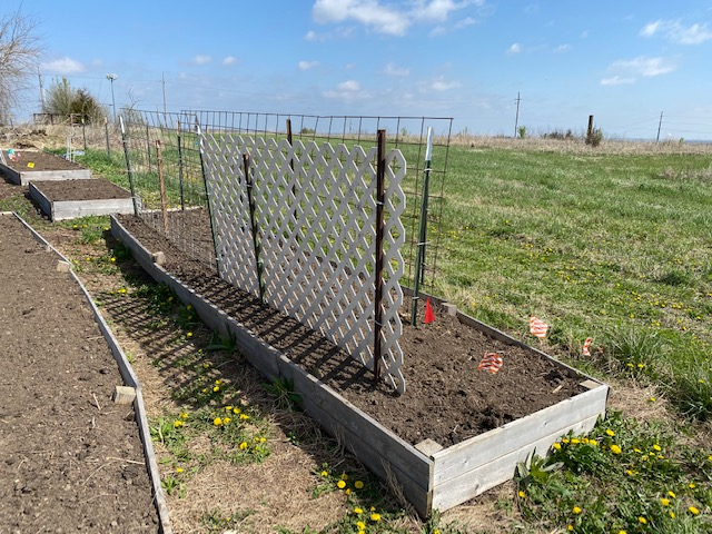Raised bed with the trellis in place to support first the pea crop and later the pole bean crop.